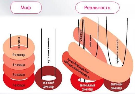 Сжатие члена мышцами влагалища